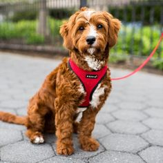 """Louie Cavapoo (7 m/o) Battery Park City Esplanade New York NY """"He pushes balls under the couch so that we have to get them."""" #thedogist"""