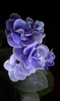African violet :)