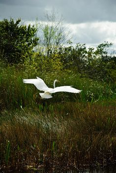 The White Crane in its Elegance   Photographer (aitramah on tumblr)
