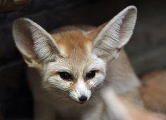 Fennec Fox by j.a.kok - joke kok on Flickr