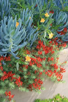 Senecio mandraliscae and Lotus berthelotii | by David Feix Landscape Design