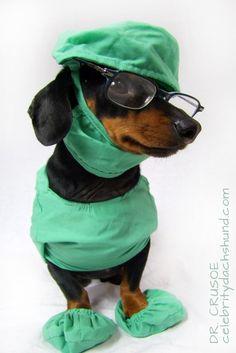 Crusoe: Mum & Dad Get Sick – Crusoe the Celebrity Dachshund Dachshund Costume, Dachshund Funny, Dachshund Breed, Dapple Dachshund, Dachshund Love, Funny Dogs, Funny Animals, Cute Animals, Daschund