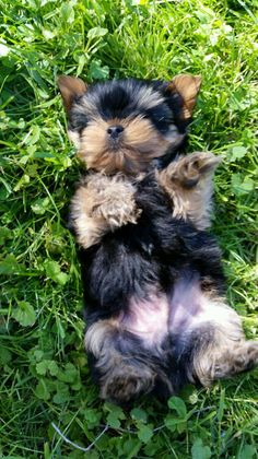 I am cute! ⋆ It's a Yorkie Life Puppies And Kitties, Cute Puppies, Toy Yorkshire Terrier, Dog Pin, Dog Boarding, Yorkies, Puppy Love, Animal Pictures, Fur Babies