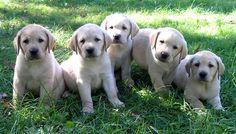 Labrador puppies! Miniture Sadie!!