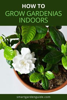 Complete guide to indoor Gardenia care. Gardenias aren't easy to keep happy indoors, but it can be done, and it's well worth the effort. Learn my top tips to ensure your Gardenia thrives year after year. Container Plants, Container Gardening, Gardening Tips, Indoor Flowering Plants, Blooming Plants, Gardenia Care, Kitchen Plants, Smart Garden, Pot Plants