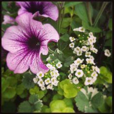 Petunia paars