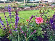 It's a well tried and tested Planting combination but I still love it! salvia Anja, salvia Caradonna and the gorgeous rose 'Olivia Rose Austin' in a box parterre. Smells amazing too!