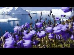 Purple Arctic Flowers by Lake Wallpaper - Free landscape,Arctic, Nature Wallpaper and more and are constantly expanding our content with exclusive files. Nature Wallpaper, Hd Wallpaper, Winter Wallpaper, Desktop Wallpapers, Beautiful World, Beautiful Places, Beautiful Pictures, Amazing Places, Places To See