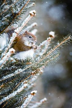 A squirrel sitting up in a snowy pine tree.