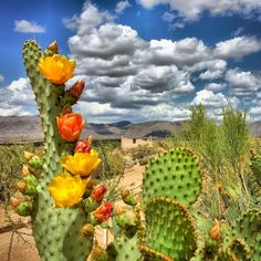 Love springtime in AZ when the cactus is in bloom! Desert Flowers, Desert Plants, Desert Cactus, Cacti And Succulents, Cactus Plants, Bonsai, Belle Plante, Cactus Flower, Flower Bookey