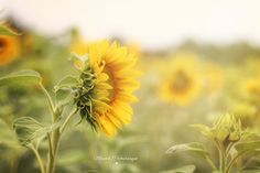 Mona's Picturesque: Sunflowers solely