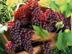Crimson grapes