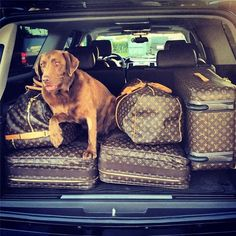 cute dog and a trunk full of lv luggage