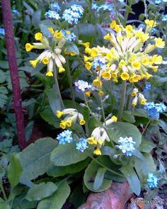 Cowslips and forget me nots