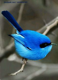 Blue bird of Australian happiness!