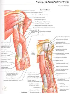 Muscles of Arm: Posterior Views Anatomy Superficial layer, Supraspinatus muscle, Infraspinatus muscle, Teres minor muscle, Deltoid musc. Axillary Nerve, Ulnar Nerve, Shoulder Joint, Shoulder Muscles, Arm Muscles, Major Muscles, Supraspinatus Muscle, Upper Limb Anatomy, Radial Nerve