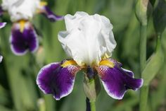 Iris germanica - soi Wabash