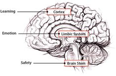 What are the social and emotional needs of the brain? | Thoughtful Learning K-12 Limbic System, Brain Stem, What Is Social, Life Science, Thoughts, Learning, Studying, Teaching, Onderwijs