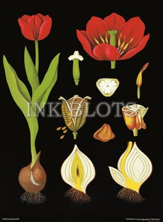 vintage reproduction poster - educational science chart poster - tulip flowering plant botanical chart