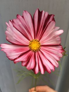 Cosmos Velouette July Flowers, Summer Flowers, Icelandic Poppies, July Wedding, Flower Farm, Clematis, Dahlia, Cosmos, Farmer