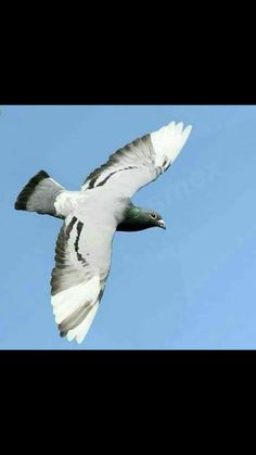 343 Best pigeon images images in 2019   Homing pigeons
