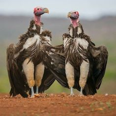 Griffon Vultures | Someone whom is much wittier than me should caption this picture.