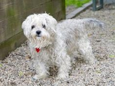 CHLOE is an adoptable Poodle Dog in Boston, MA.