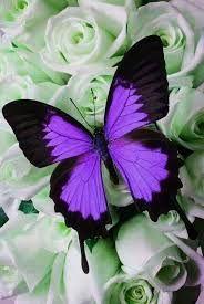 Resultado de imagem para lindas borboletas azuis imagens