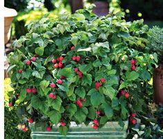 Flowering Raspberry Bush