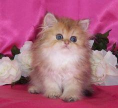 Chinchilla Golden Kitten - golden chinchila, animals, cats, kitten https://animals.desktopnexus.com/wallpaper/1766131/
