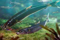 Tecnologia foi utilizada no estudo da anatomia do Rhacolepis buccalis, peixe que nadou há mais de 100 milhões de anos nas águas que cobriam a Chapada do Araripe (divulgação)