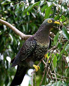 Cameroon Olive Pigeon (Columba sjostedti)
