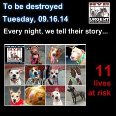 TO BE DESTROYED: 11 Dogs to be euthanized by NYC ACC- TUES. 9/16/14. This is a HIGH KILL shelter group. YOU may be the only hope for these pups! ****PLEASE SHARE EVERYWHERE!! To rescue a Death Row Dog, Please read this:  http://urgentpetsondeathrow.org/must-read/    To view the full album, please click here:    https://www.facebook.com/media/set/?set=a.611290788883804.1073741851.152876678058553&type=3