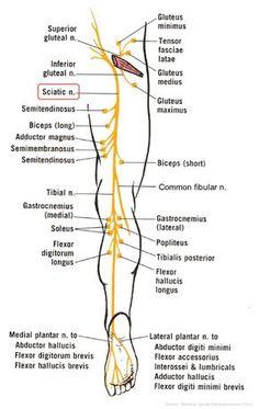 Sciatica Symptoms, Sciatica Exercises, Sciatica Pain, Sciatic Nerve, Nerve Pain, Cauda Equina Syndrome, Tensor Fasciae Latae, Nerve Anatomy, Spinal Nerve