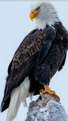 All types of eagle birds in the world with amazing facts. Bald eagles are symbol of American. They are at the top of the food chain, with some species feeding on big prey like monkeys and sloths. Cats Wallpaper, Eagle Wallpaper, Wings Wallpaper, Nature Animals, Animals And Pets, Beautiful Birds, Animals Beautiful, Bald Eagle Pictures, Bald Eagle Tattoos