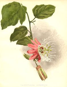 passionfruit pictures on Pinterest | Passion Flower, Web Gallery ...