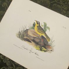Vintage Bird Illustration  Audubon Book Plate  by SimplySuzula