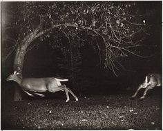 foxesinbreeches: Hunting Deer with a Camera, Northern Michigan by George Shiras III, 1900
