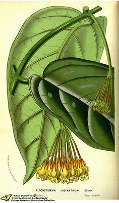 Hoya lasiantha. - Flore des serres et des jardins de l'Europe v.13 (1858)   by Swallowtail Garden Seeds