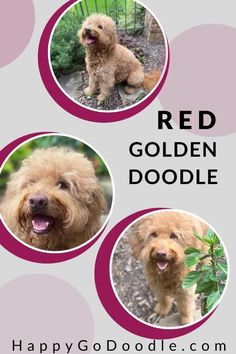 Get the 4-1-1 on the ridiculously cute red Goldendoodle. Spoiler alert: the red, apricot, or ginger coat is just one of the red Doodle dog's adorable qualitities.  #goldendoodle #redgoldendoodle #happygodoodle Goldendoodle Names, Mini Goldendoodle, Goldendoodles, You Doodle, Doodle Dog, Puppy Coats, Veterinary Care, Therapy Dogs, Service Dogs