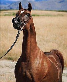 Veronica GA (US)2001 Chestnut Arabian mare. Versace {Fame VF x Precious As Gold by El Shaklan} x Echo Belle {Echo Magnifficoo x Belbowrie Baskana by Bask} Bred by Jim & Sally Bedeker, Gemini Acres Arabians, AZ.  Owned by Dr. Motaz A. Ghulman of Jeddah, Saudi Arabia. 2004 US Nat. Champion.