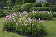 'Siam Tulip'   CURCUMA ALISMATIFOLIA