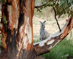Wild kangaroo- it is so amazing at the beauty that surrounds us each and every day if we just open our eyes and really look at things!!!!