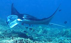 Manta Ray night dive... do you think we really need to know how to scuba dive?