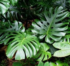 Fresh Seeds are available - Monstera Deliciosa - Fruit Salad Plant Split leaf #monstera