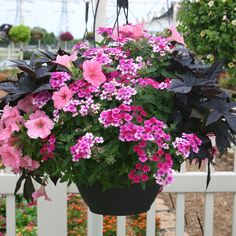Pink and Ink Annual Plant Combination - Light and Dark Accents for Sunny Spots! Contains 2 plants each of Sweet Potato Vine Sidekick Black, Verbena Lanai® Upright Bright Rose, and Petunia Fame Salmon Pink.