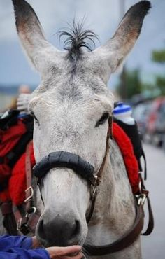 Burro at Burro Days in Fairplay, Colorado.  I love donkeys! This IS the 65th year Colorado has been celebrating Pack Burro Races (2013) Colorado celebrates it's Gold history with these races in our mining towns every summer.......check out the race dates for this year~