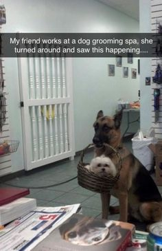 """Excuse me, ma'am - my friend here just wants a quick trim."" #funny #dogs #doglovers"