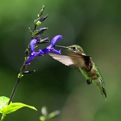 black and blue salvia that I will try to overwinter - hummingbirds love it...