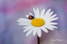 Spring love by photobybara Love, Spring, Nature, Amazing, Daisies, Ladybugs, Pictures, Amor, Naturaleza